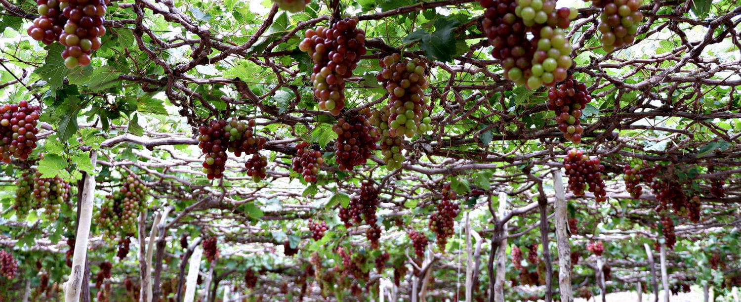 Grape Arbor, photo by Dũng Võ Văn via Pixabay