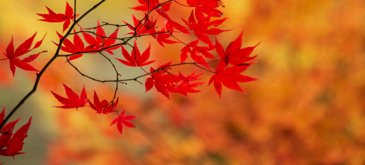 Bright red fall leaves against a blurred orange background